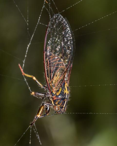 Chatham Island cicada (Kikihia longula). Rangaika Scenic Reserve, Chatham Island.