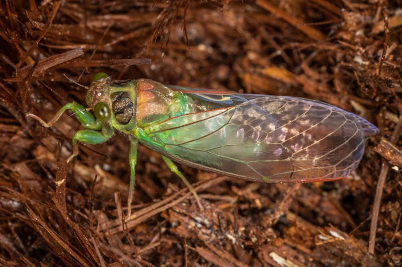 Lesser bronze cicada (Kikihia scutellaris). Sledge Track, Palmerston North.