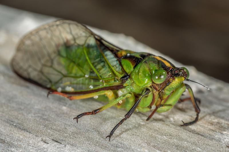 Subalpine Green Cicada (Kikihia subalpina). Chrystalls Beach