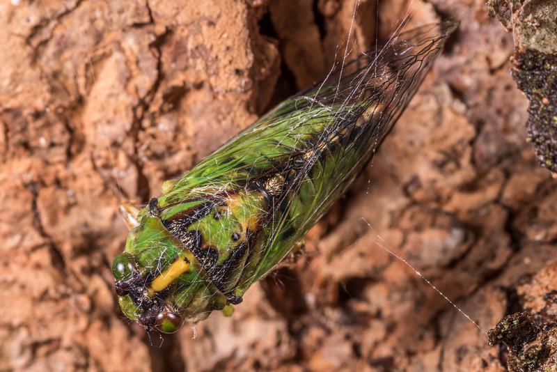 Cicada (Kikihia subalpina), caught in a cobweb. OBHS Lodge, Matukituki River West Branch.