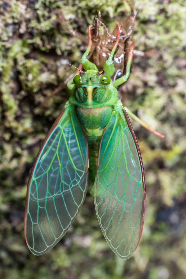 Moulting cicada (Kikihia spp.). Port Craig, Fiordland National Park.