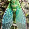 Moulting cicada (Kikihia spp.). Port Craig, Fiordland National Park.