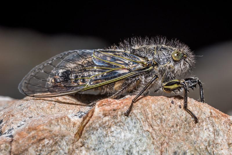 Greater alpine black cicada (Maoricicada oromelaena). Mueller Hut Track, Aoraki/Mount Cook National Park.