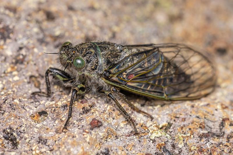 Greater alpine black cicada (Maoricicada oromelaena). Pt 1552m, Skippers Range, Fiordland National Park.