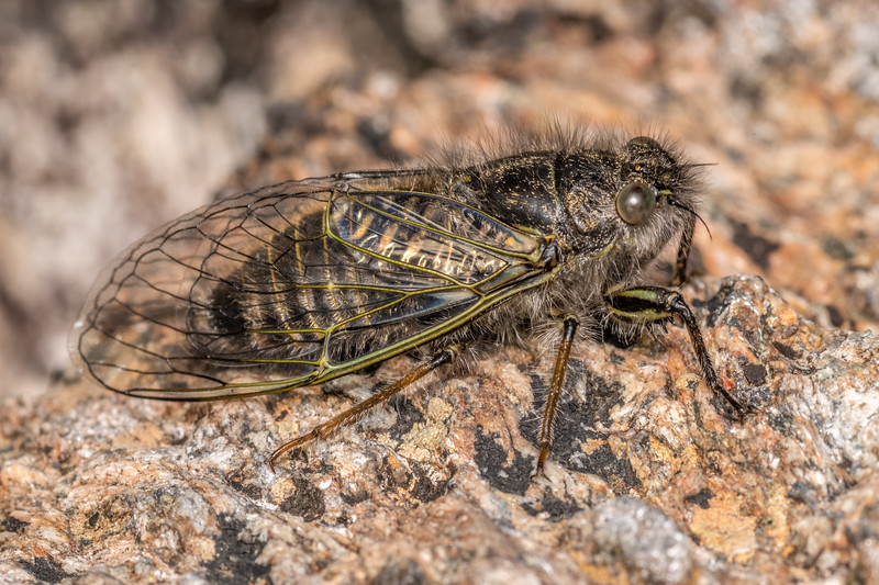 Greater alpine black cicada (Maoricicada oromelaena). Skippers Range, Fiordland National Park.
