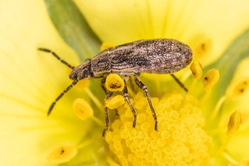 Seed bug (Family Lygaeidae) nymph. Wild River State Park, MN, USA.