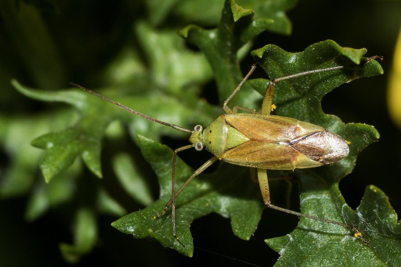 Potato Mirid (Closterotomus norwegicus) on ragwort (Jacobaea vulgaris). Raspberry Flat, Matukituki River West Branch.