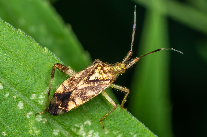 Plant bug (Neurocolpus spp.). Wild River State Park, MN, USA.