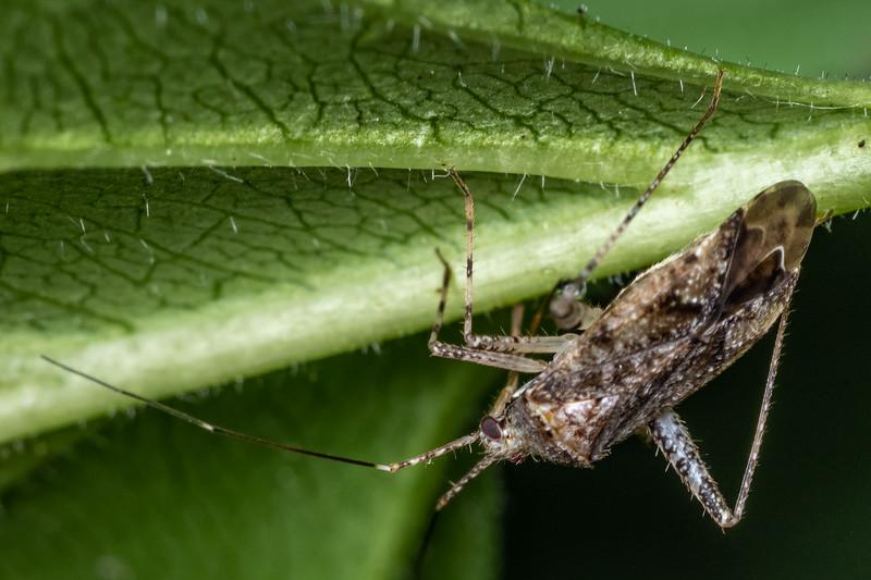 Plant bug (Phytocoris spp.). Wild River State Park, MN, USA.