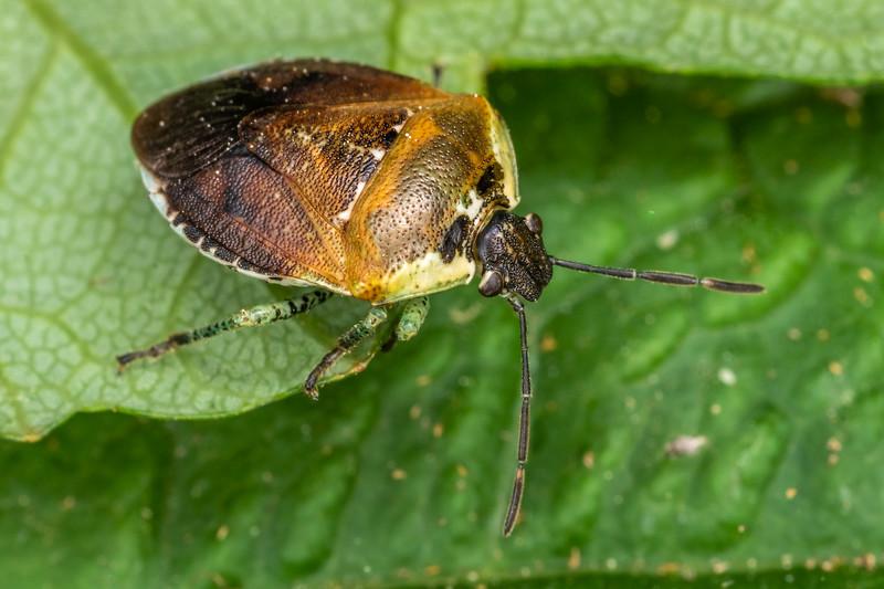 Pittosporum shield bug (Monteithiella humeralis). Opoho, Dunedin.