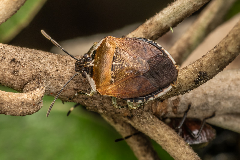 Pittosporum shield bug (Monteithiella humeralis). Driving Creek Ecosanctuary, Coromandel.