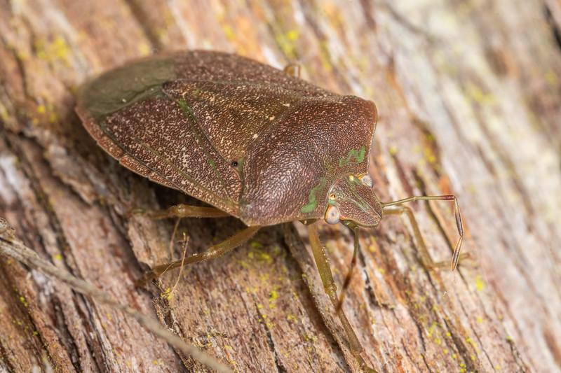 Green vegetable bug (Nezara viridula).<br /> Waterworks Walk, Ngaruawahia.