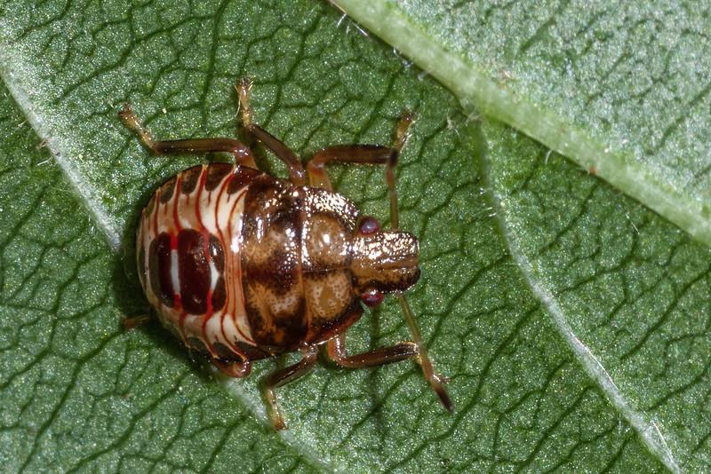 Predatory stink bug (Podisus spp.) nymph. Wild River State Park, MN, USA.