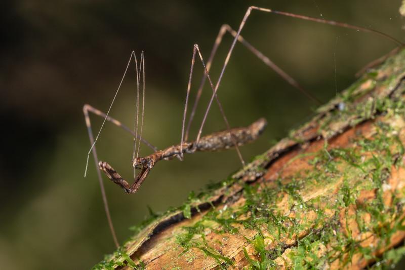 Assassin bug (Ploiaria antipodum). Mohi Bush, Havelock North.