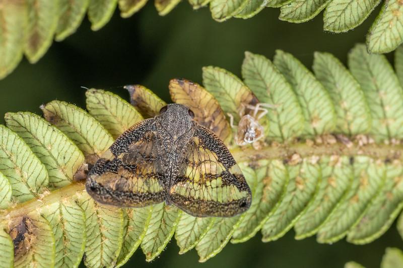 Passionvine hopper(Scolypopa australis). Te Horo Tunnel, Whitecliffs Walkway, Taranaki.