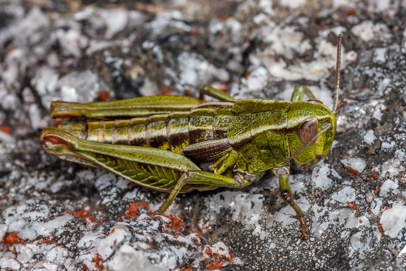 Short-horned grasshopper (Alpinacris crassicauda). Buckland Peaks, Paparoa Range.
