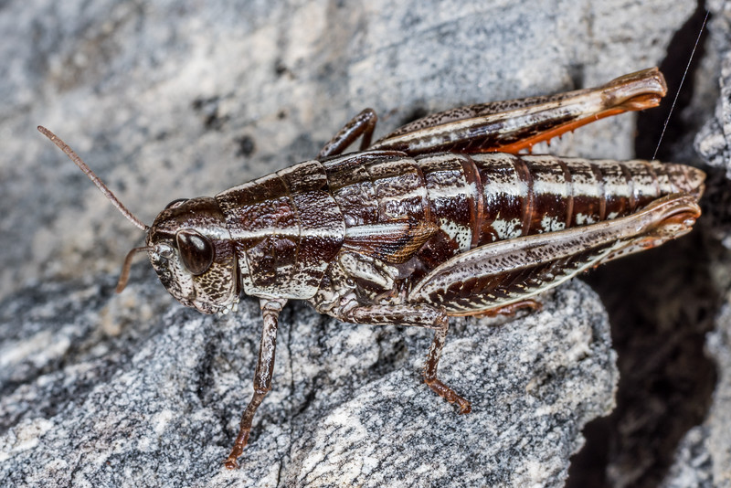 Short-horned grasshopper (Alpinacris crassicauda). Mount Arthur, Kahurangi National Park.