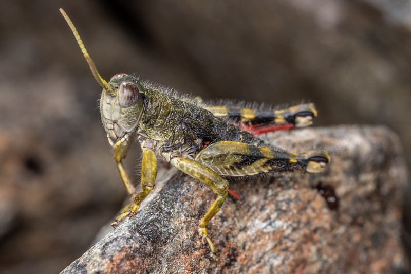 Short-horned grasshopper (Brachaspis collinus). Mount Richmond. Richmond Range, Marlborough.