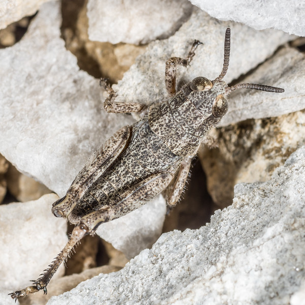 Short-horned grasshopper (Brachaspis collinus). Mount Arthur, Kahurangi National Park.