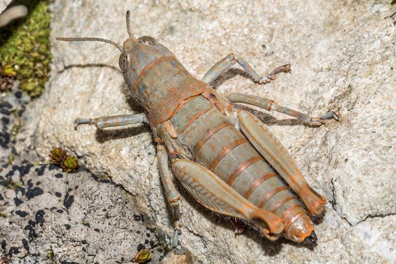 Short-horned grasshopper (Brachaspis nivalis). Mount Wakefield, Aoraki / Mount Cook National Park.