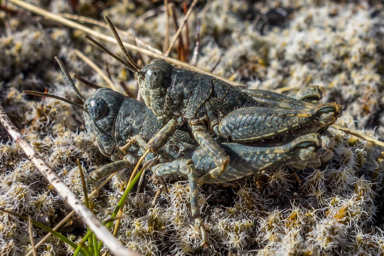 Brachaspis nivalis (a short-horned grasshopper) mating. Cameron River, Arrowsmith Range.