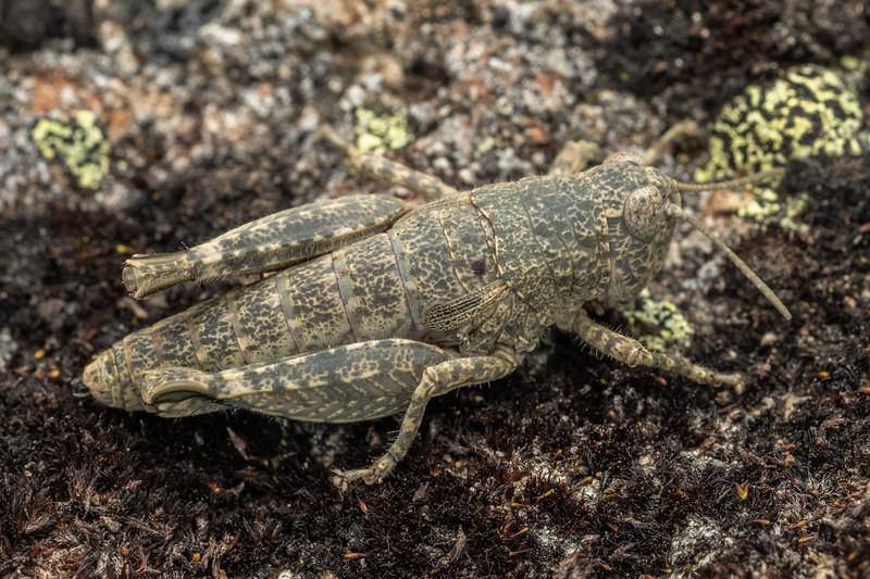 Grasshopper (Brachaspis nivalis). Mount Somers, Canterbury.