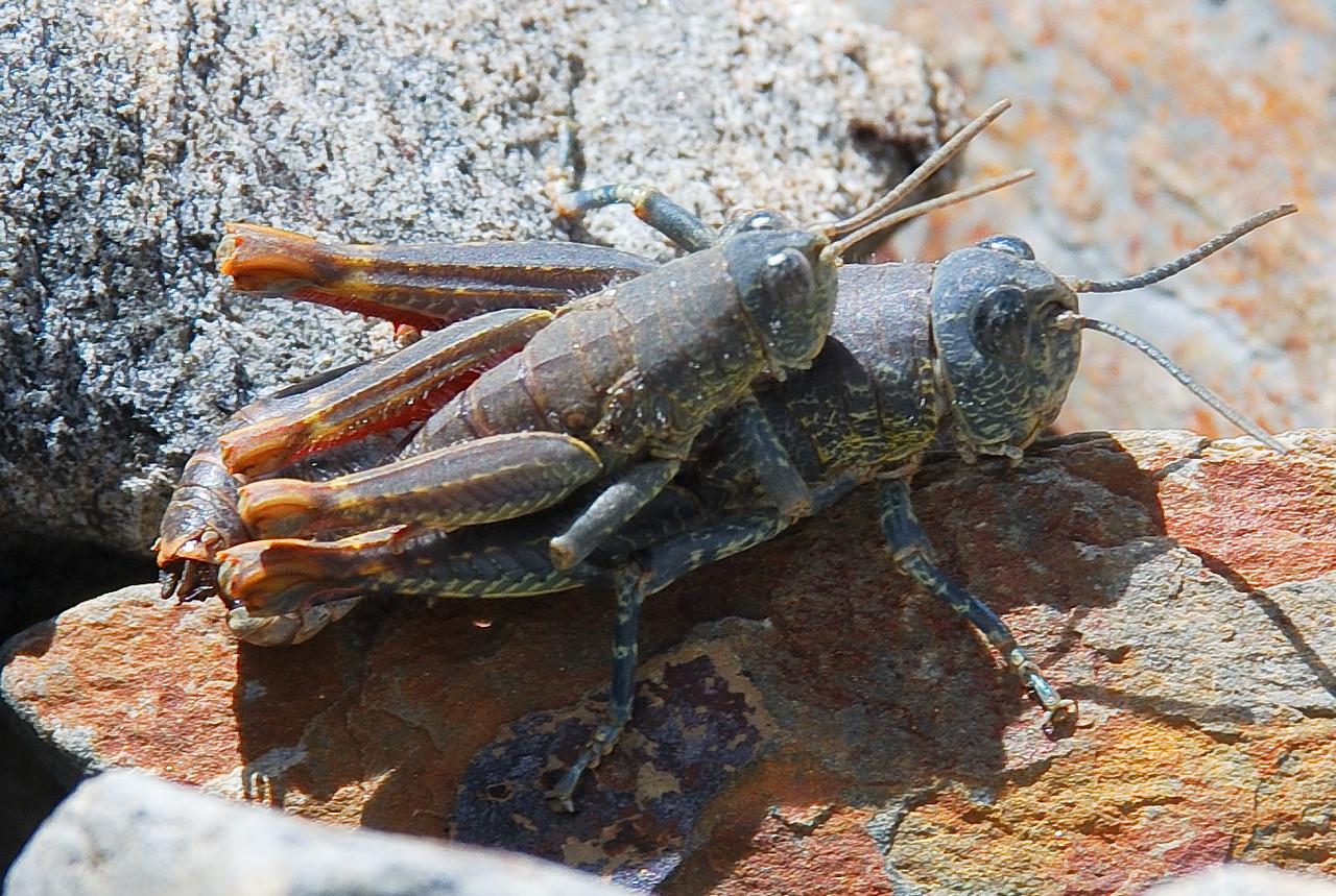 Brachaspis nivalis (a short-horned grasshopper) mating. Dingle Burn, Southern Alps.