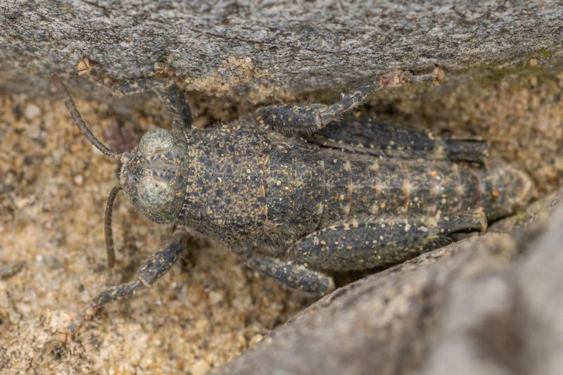 Robust grasshopper (Brachaspis robustus). Pukaki River, MacKenzie Basin