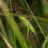 Female field grasshopper (Conocephalus bilineatus). Raspberry Flat, Matukituki River West Branch.