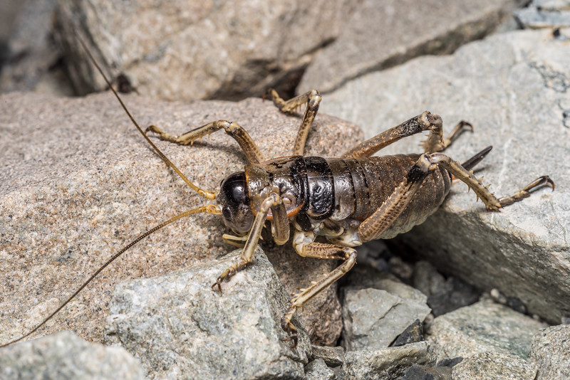 Alpine scree wētā (Deinacrida connectens) adult female. Hamilton Peak, Craigieburn Forest Park.