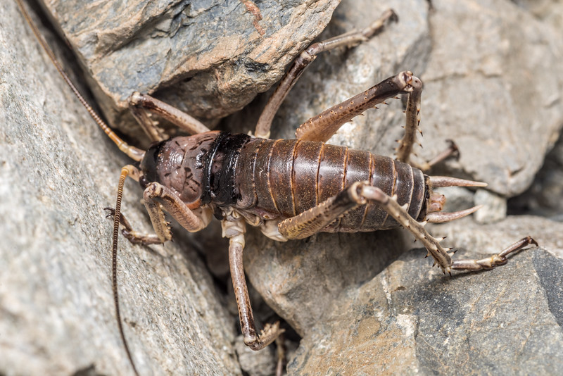 Alpine scree wētā (Deinacrida connectens) adult male. Hamilton Peak, Craigieburn Forest Park.