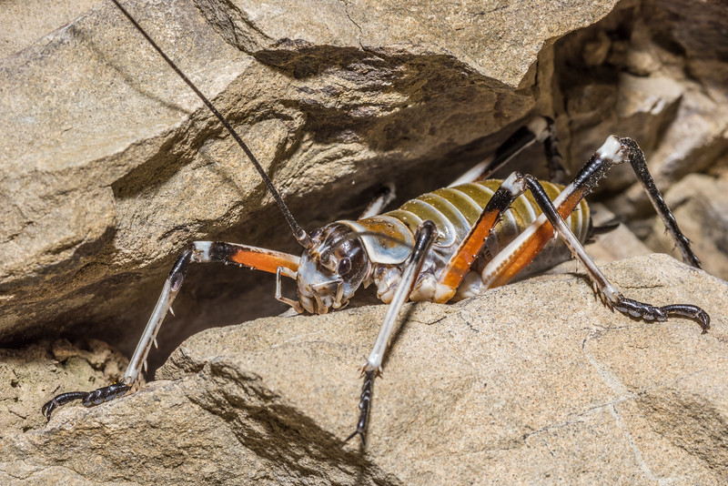 Bluff wētā (Deinacrida elegans). Seaward Kaikoura Range.