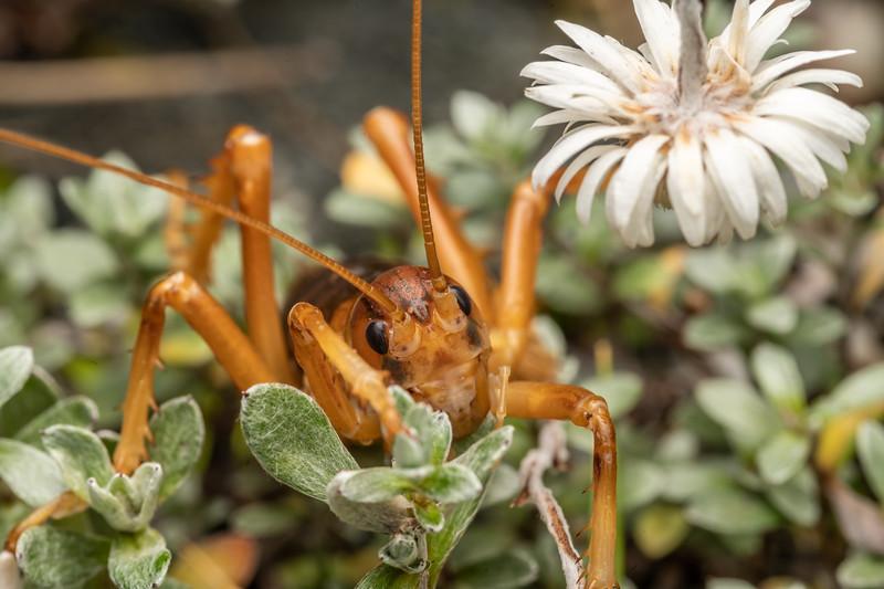 Southern Alps giant wētā (Deinacrida pluvialis) adult male feeding on everlasting daisy (Anaphalioides bellidioides). Mount Aspiring National Park.