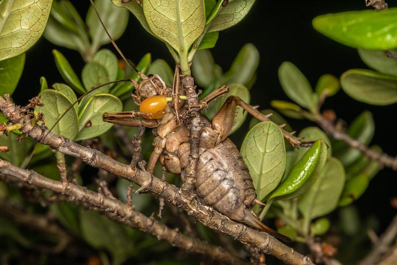 Cook Strait giant wētā (Deinacrida rugosa) adult female feeding on taupata (Coprosma repens) fruit. Matiu / Somes Island, Wellington.