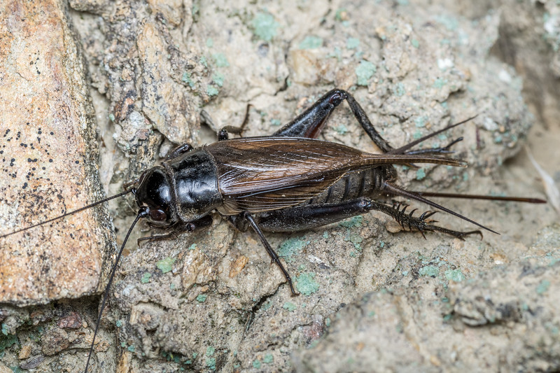 Black field cricket (Teleogryllus commodus). Onamalutu Rd, Blenheim, Marlborough.