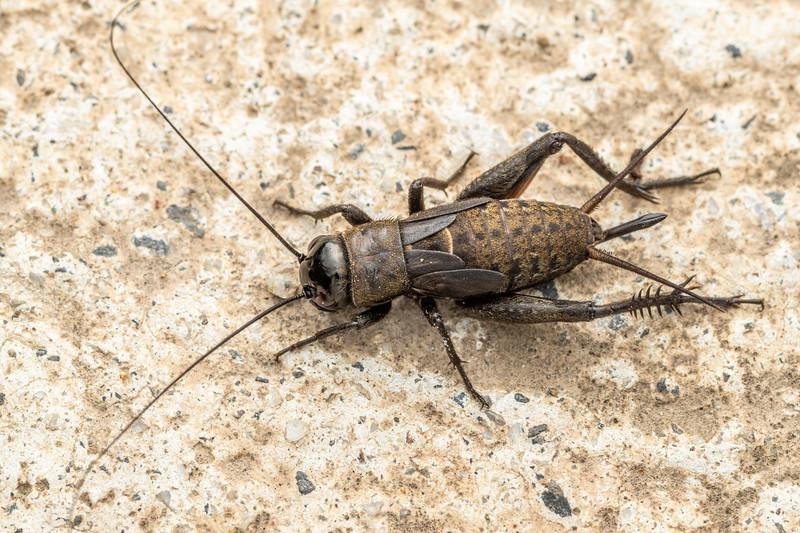 Black field cricket (Teleogryllus commodus). Driving Creek Ecosanctuary, Coromandel.