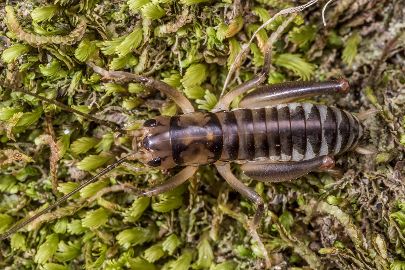 Ground wētā (Hemiandrus bilobatus). Mistletoe Bay, Queen Charlotte Sound.