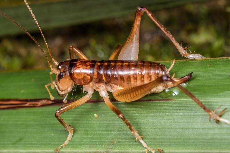 Hemiandrus electra adult female. Cave Brook, Gouland Downs, Kahurangi National Park.