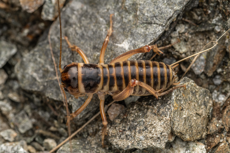 Ground wētā (Hemiandrus focalis). Albertburn Saddle, Matukituki River East Branch, Mount Aspiring National Park.