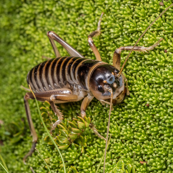 Male ground wētā (Hemiandrus focalis). Major Peak, Wakatipu.
