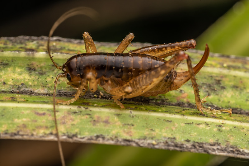 Ground wētā (Hemiandrus luna). Waihohonu Hut, Tongariro National Park.