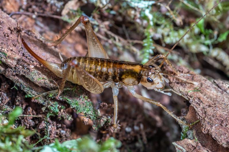 Ground wētā (Hemiandrus maculifrons) adult female. Fyfe River, Kahurangi National Park.