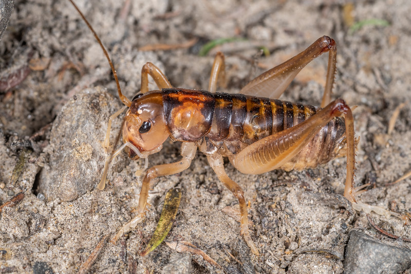 Ground wētā (Hemiandrus pallitarsis). Cape Sanctuary, Hastings.