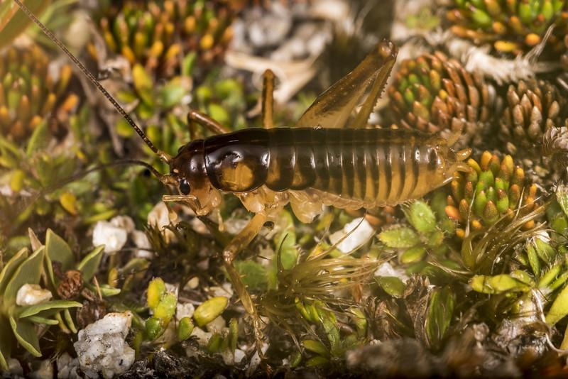 Ground wētā (Hemiandrus 'saxatilis') male. Mt Allen, Tin Range, Rakiura / Stewart Island.