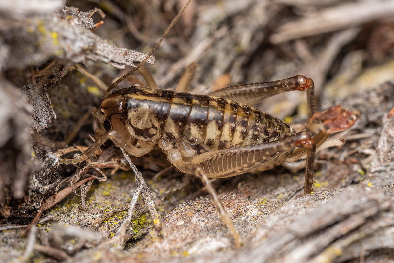 Ground wētā (Hemiandrus 'timaru') female. Pioneer Park, Opihi River, Canterbury.
