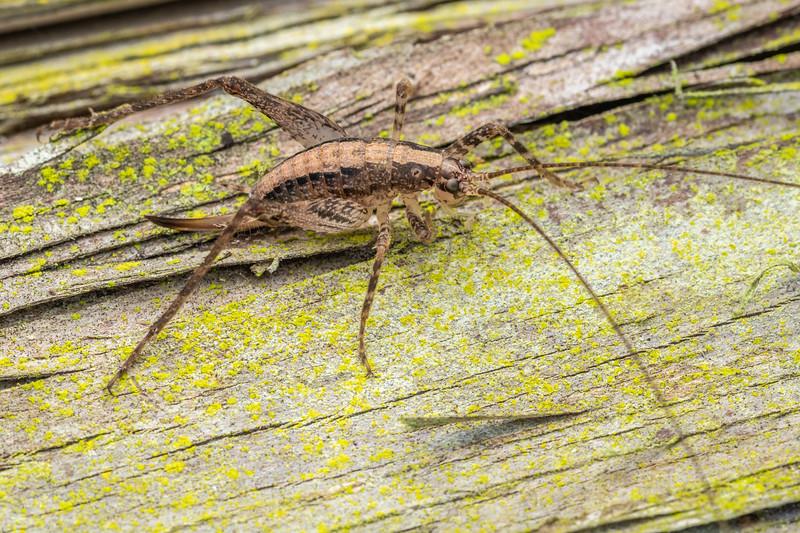 Cave wētā / tokoriro (Isoplectron armatum) adult female. Pioneer Park, Canterbury.
