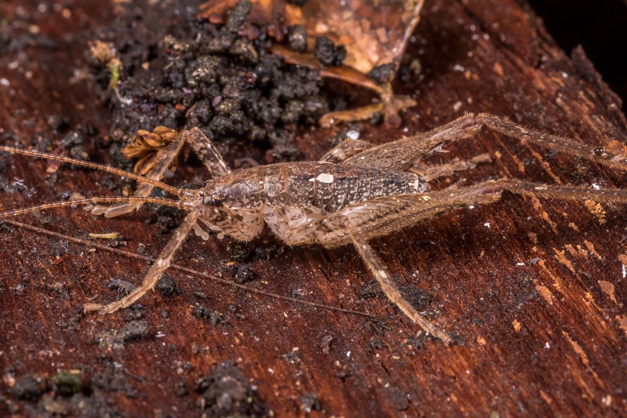Cave wētā / tokoriro (Isoplectron armatum) adult male. OBHS Lodge, Matukituki River West Branch.