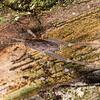 Cave wētā / tokoriro (Isoplectron armatum) male. OBHS Lodge, Matukituki River West Branch.