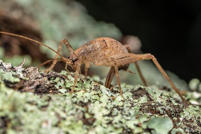 Cave wētā / tokoriro (Isoplectron armatum) adult female laying eggs. Pioneer Park, Canterbury.