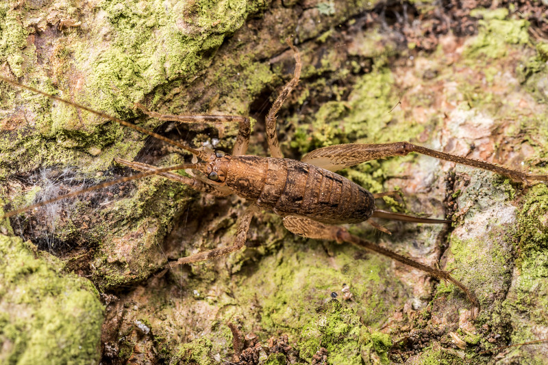 Cave wētā / tokoriro (Isoplectron armatum) adult female. OBHS Lodge, Matukituki River West Branch.